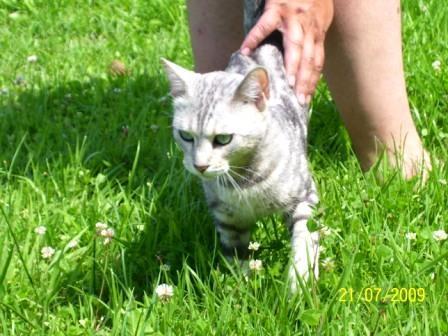 Zdjęcia Czy Srebrny Kot Bengalski Jest Mniej Bengalski Niż Brązowy
